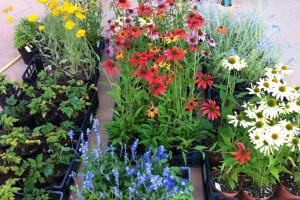 fiori e piante nel vivaio di Dal Ben giardini a Musile di Piave