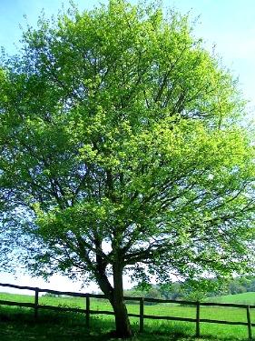 Come ottenere un 39 ottima zona d 39 ombra in giardino dal ben for Alberi da ombra a crescita rapida
