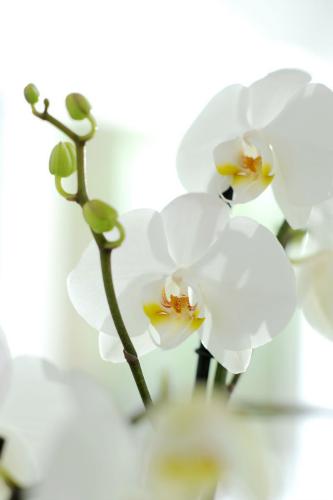 Come prendersi cura dell 39 orchidea dal ben giardini for Cura orchidee in vaso
