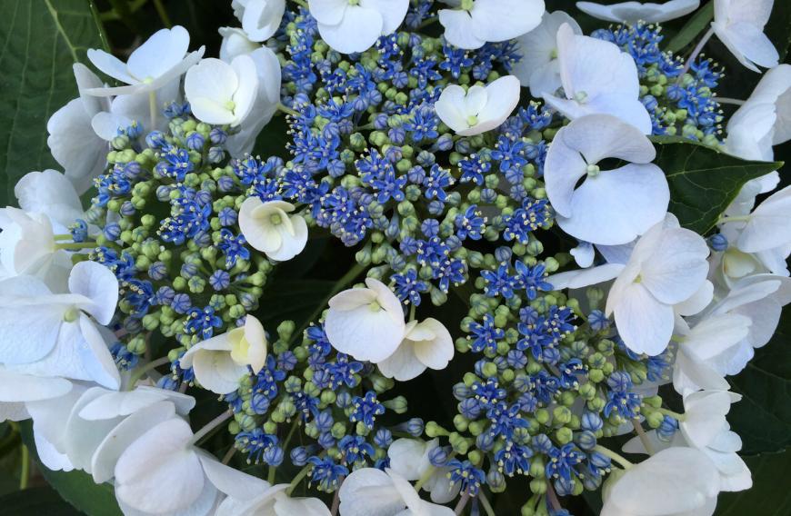 Con le Ortensie la lunga fioritura è assicurata! - Dal Ben Giardini