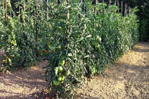 coltivazione piante da orto
