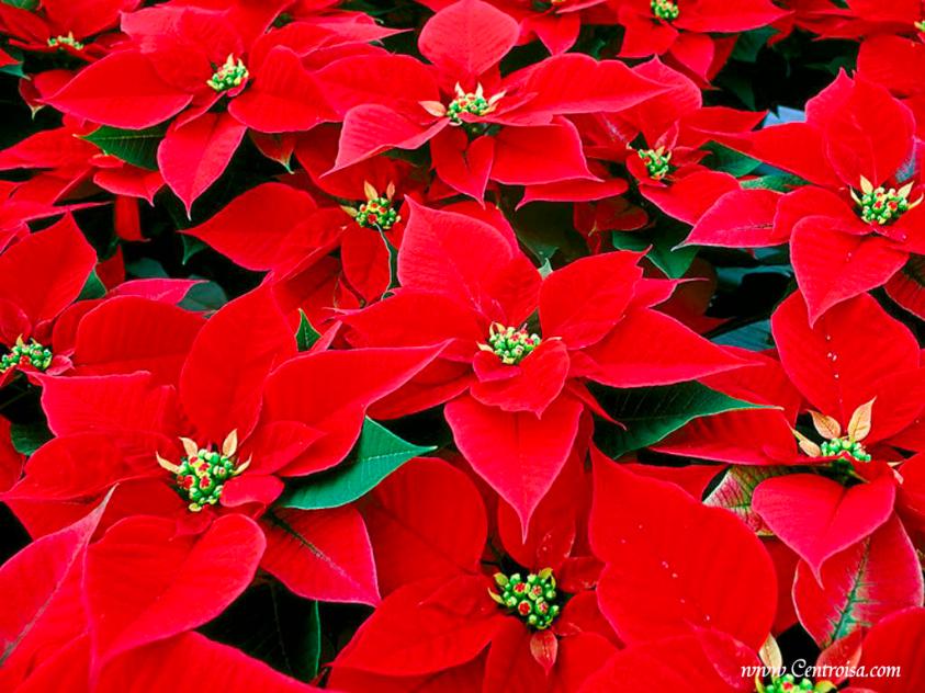 Cura Della Stella Di Natale.Come Prendersi Cura Della Stella Di Natale Dal Ben Giardini
