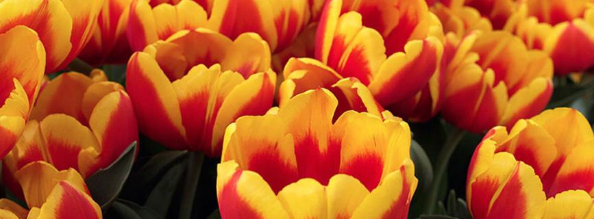 Progettare il giardino: Tulipani che passione!