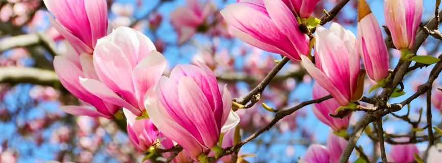 Magnolia, pianta per il giardino e per il terrazzo