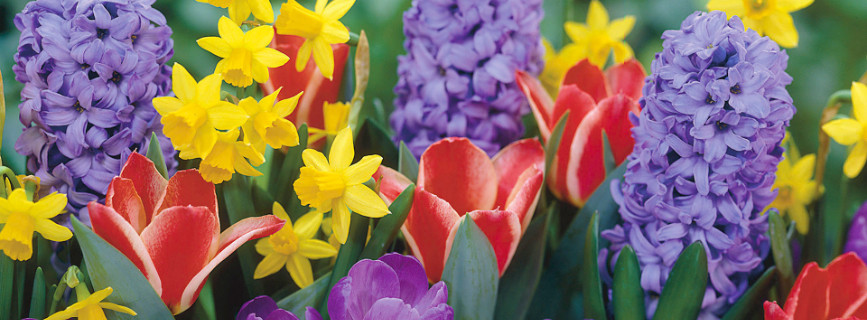 Come colorare il giardino con primule, anemoni e giacinti