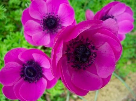 Anemone in giardino - Dal Ben Giardini Treviso
