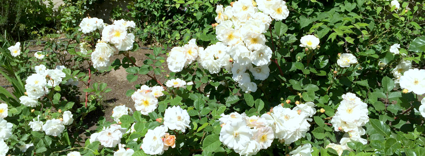 Progettare il giardino con la regina dei fiori la rosa for Giardino con fiori