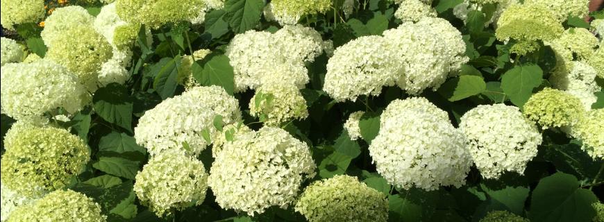 Con le Ortensie la lunga fioritura è assicurata!