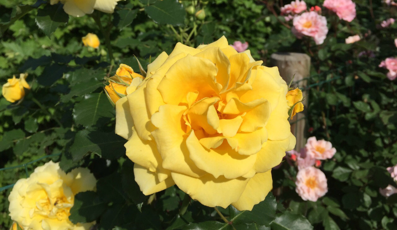 rosa in fiore