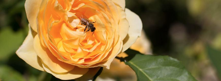 ape su rosa gialla