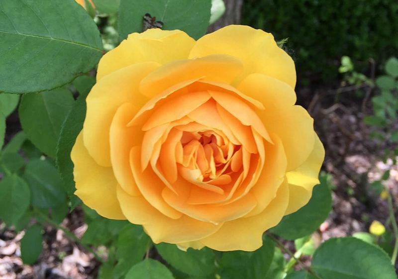 Progettare il giardino con la regina dei fiori la rosa - Giardino con rose ...