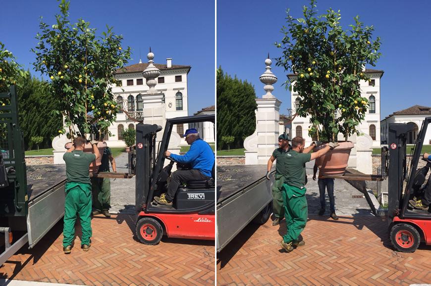Consegna Limoni Post Inverno Dal Ben Giardini