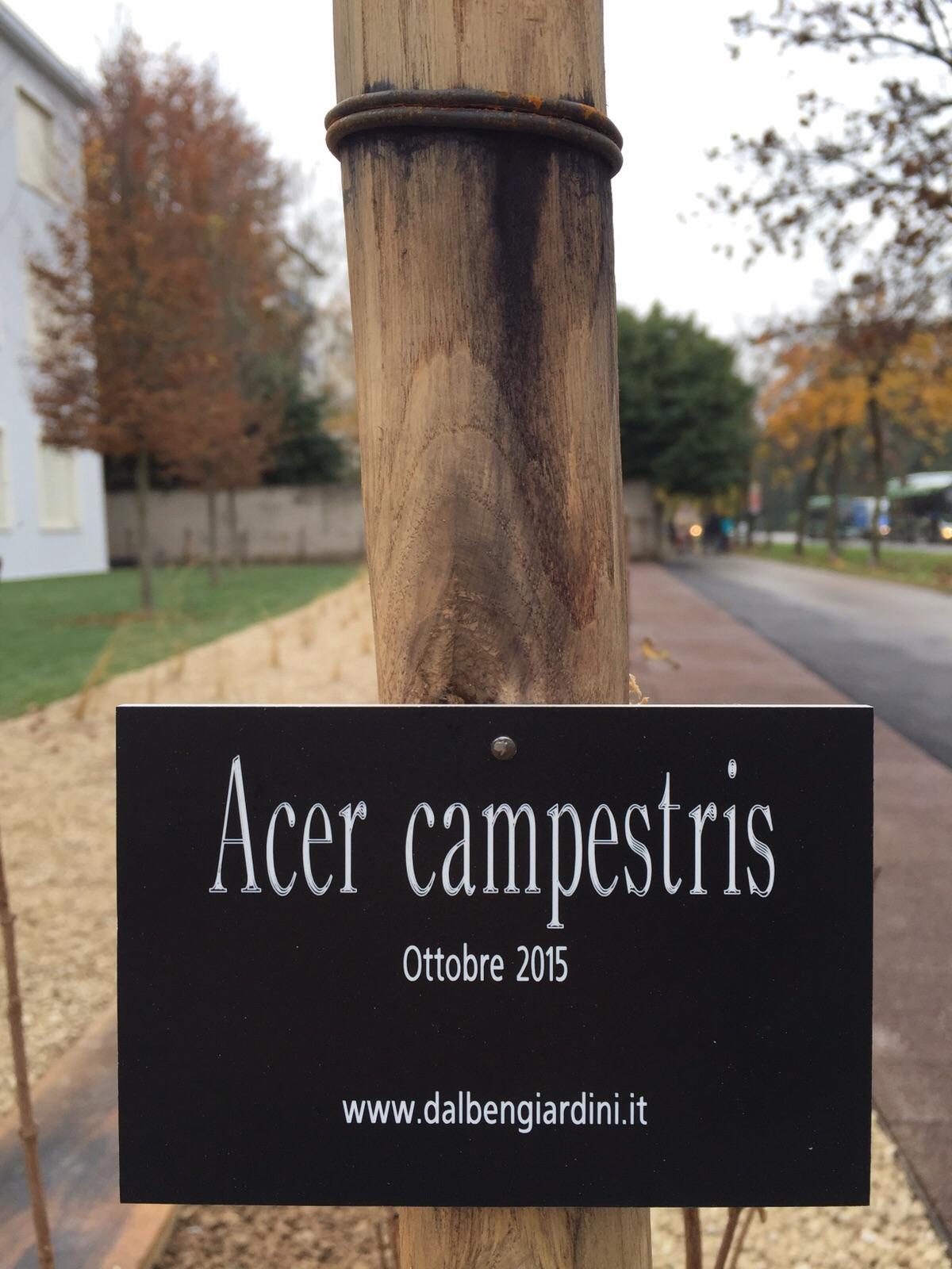 Teatro_Alcuni_Acer_Campestris