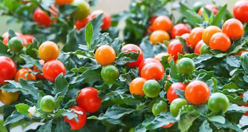 Colora il tuo giardino d 39 inverno con le piante giuste for Pianta ornamentale con bacche rosse