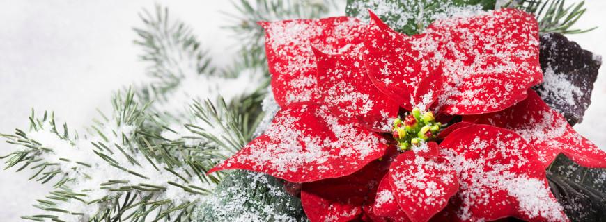 Le origini delle piante del Natale