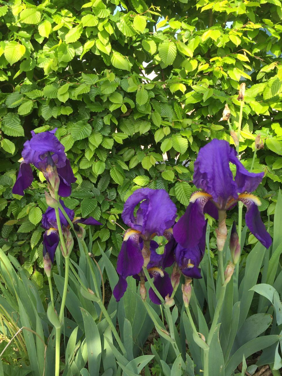 tulipani-viola-colori-verde