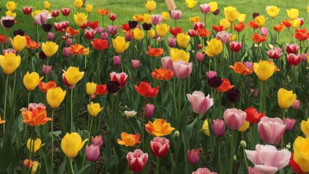 tulipani-fioritura-dal-ben-giardini