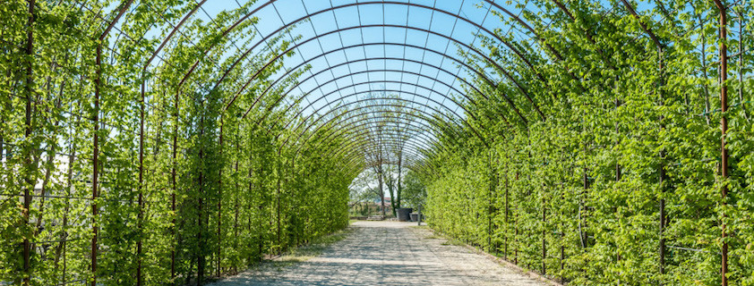 10 piante rampicanti perfette per il pergolato dal ben for Piante da giardino rampicanti