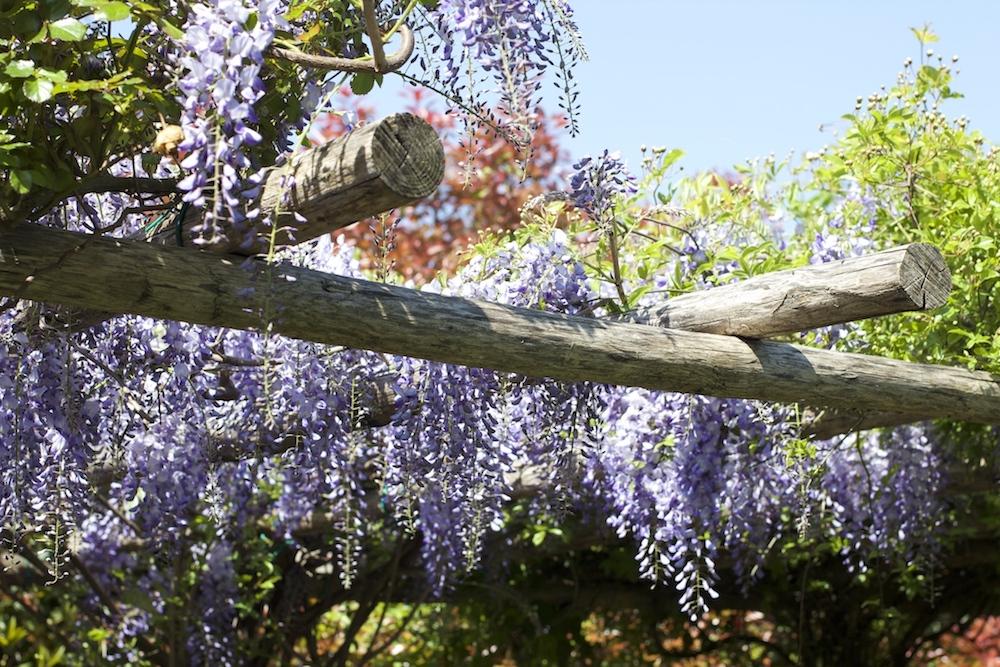 glicine-rampicanti-fiori-primavera