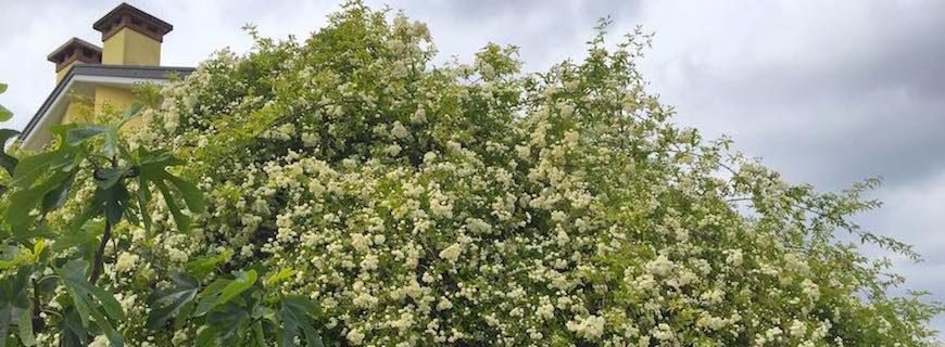 La rosa Banksiae e il suo ruolo nella progettazione di un giardino o pergolato